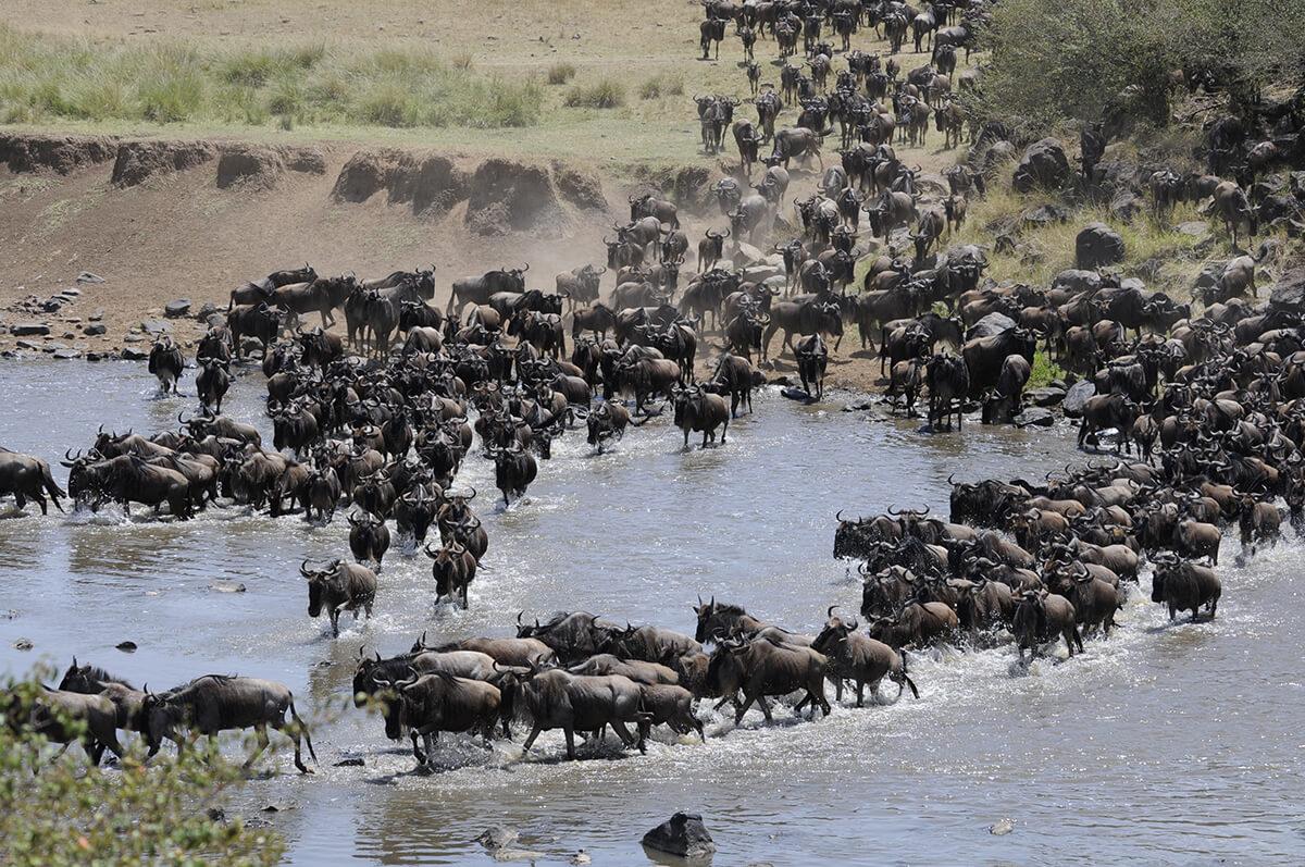 Safari Herde