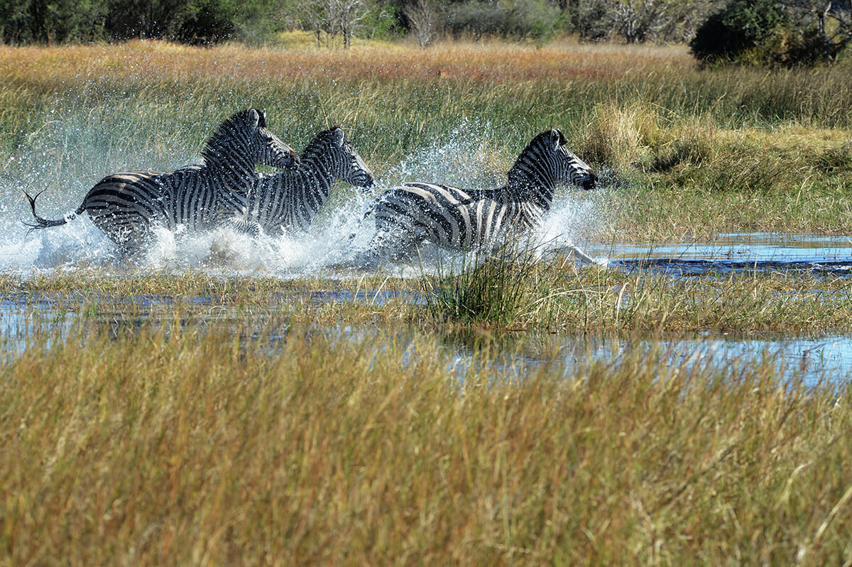 Zebra Herde